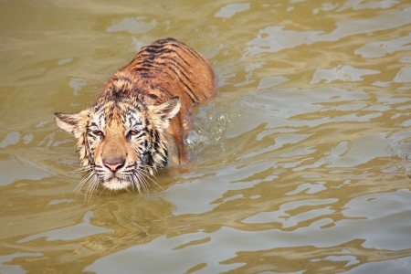 A tiger swimming in pond  photo