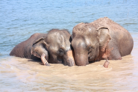 nestle: Two elephants show good relationship of each others in pond