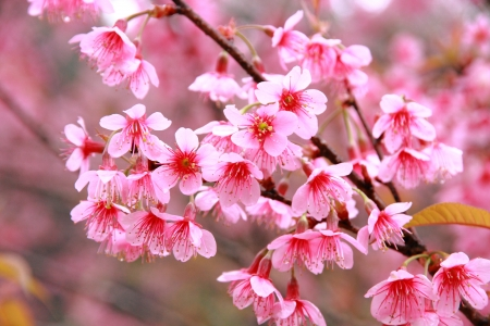winter cherry: Wild Himalayan Cherry Flower on tree from north of Thailand