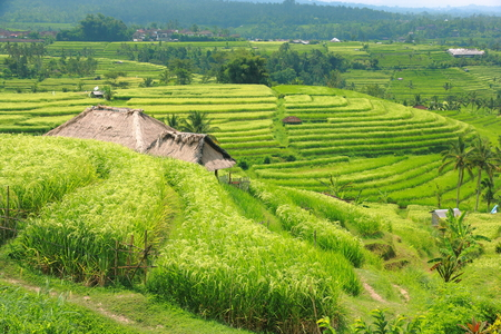 Bali Jatiluwih Rice Terraces field Indonesia  Stock Photo