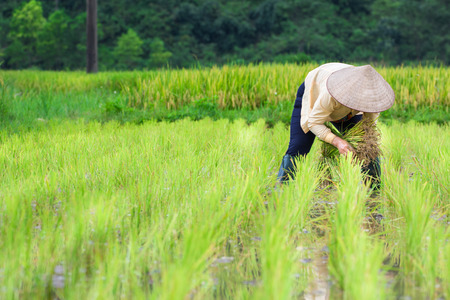 Vietnam Farmer transplant rice seedlings on the plot field
