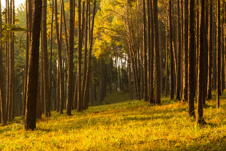 shinning: sunray shinning thought fog of pines forest Stock Photo
