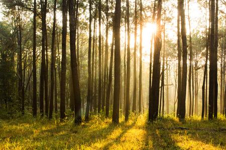Sunray pensée shinning brouillard de forêts de pins Banque d'images - 40540041
