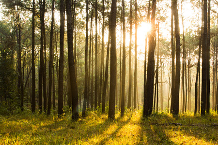 forest background: sunray shinning thought fog of pines forest Stock Photo