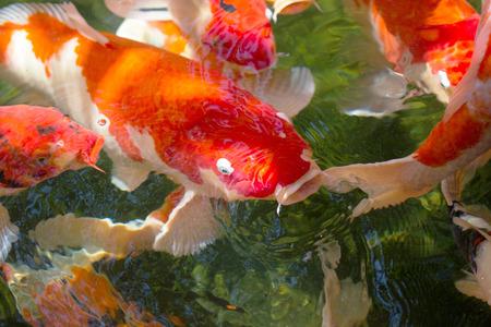 colour in: carp Koi fish orange color in pond
