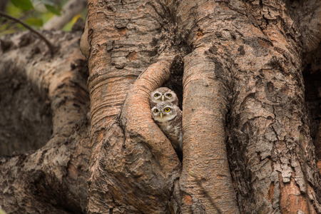 hollow tree: Spotted owlet , Athene brama , live in their home hollow tree nature