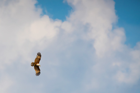 single eagle hawk flying in the blue sky Stock Photo
