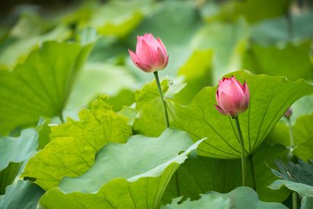 緑の葉に囲むピンクの水ユリの花を咲かせる蓮の花 写真素材 - 88139195