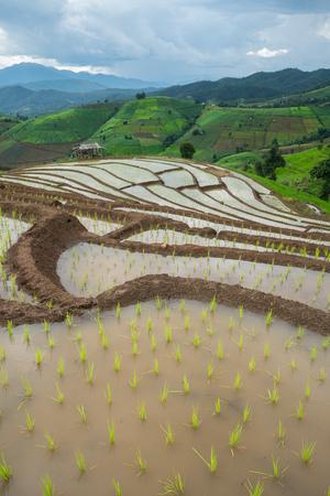 transplant rice terrace seedlings field in Ban Pa Bong Piang, Chiagmai, the north of thailand, nobody Фото со стока