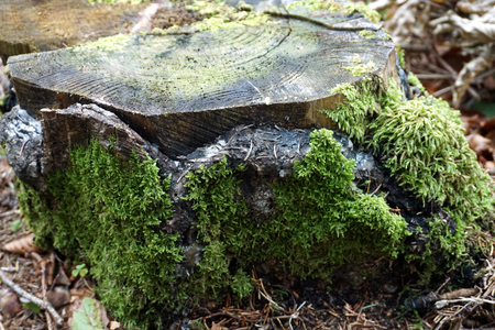 Green moss around old wooden tree stump Stock Photo
