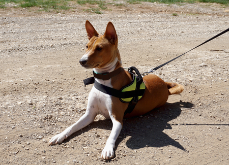 Hunting dog breed Basenji is lying on a dusty road, listening and lurking 写真素材