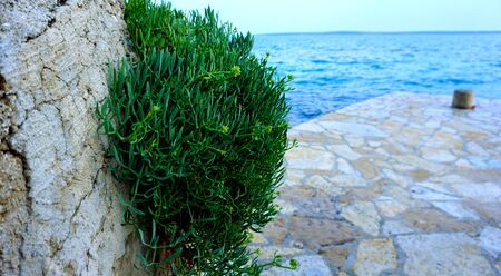 Bush with buds of Crithmum maritimum or rock samphire on the rock near the sea in the Croatian island of Pag