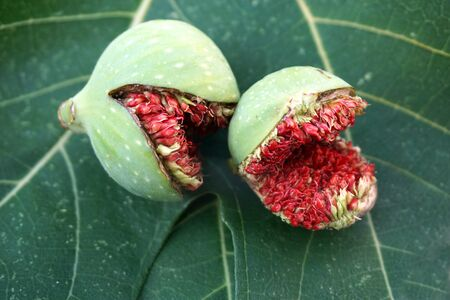 Two prematurely ripened wild figs, cracked, on the figs leaves