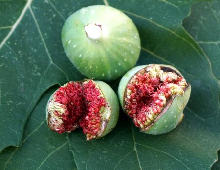 Wild fig fruits on the green leaves with fig milky sap in the top of the one Stockfoto