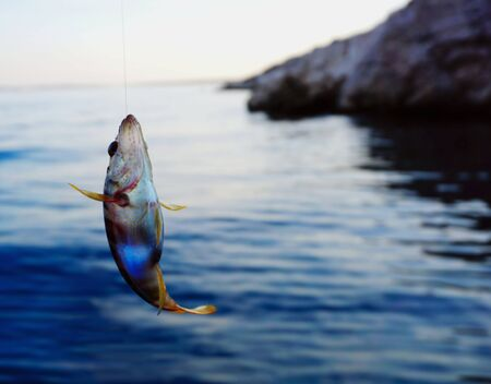 Just fished sea fish Serranus Scriba on a fishing line above the blue sea surface