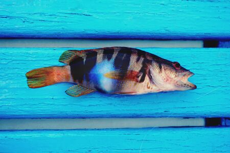 Small colorful sea fish Serrnus Scriba with fluorescent blue spot on the body, at the bottom of the boat on the light blue wooden floorboards Banque d'images