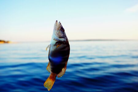 Tiny and colorful sea fish Serranus Scriba caught and hanging on the fishing line above the sea surface in the littoral of Croatian island of Pag