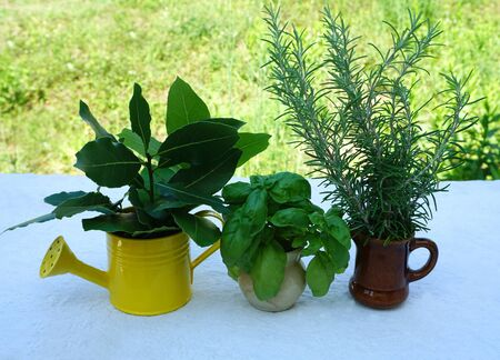 Background with aromatic herbs plants, laurel , rosemary and basil, lined in small pots in front of the green meadow