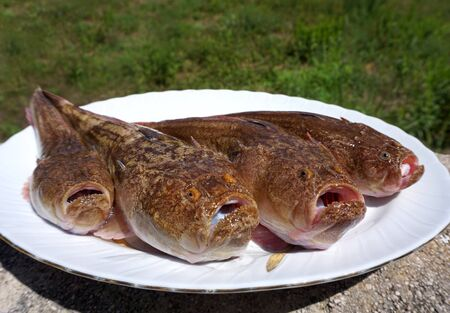 Four raw sea fishes Uranoscopus scaber, Stargazer or pug fish, on the white plate. Predator fish that usually found buried in the sand or mud