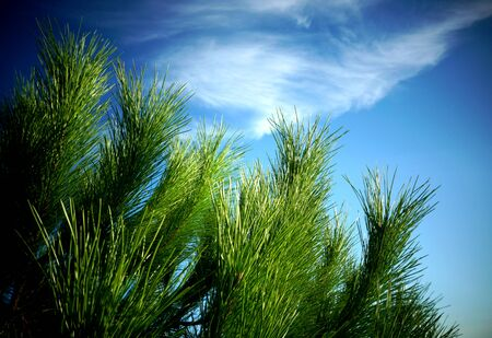 Green pine branches and needles close up view with blue sky in the background and copy space Stockfoto