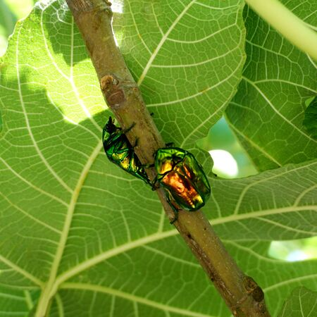Two metallic structurally colored green bronze beetle Cetonia aurata called the green rose chafer on the fig branch Stockfoto