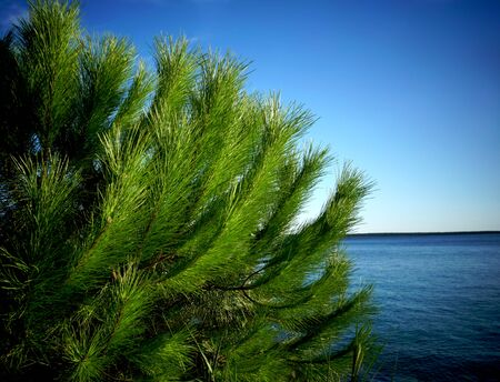 Pinus pinaster treetop with green branches and pine needles in the foreground and blue sea and sky in the background Stockfoto