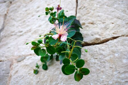 Close up view of flower and plant of Capparis spinosa or capers, mediterranean herb on the stone wall