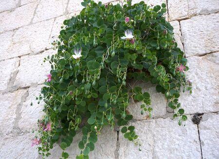 Planta con flores verdes Capparis spinosa o alcaparras en el muro de piedra