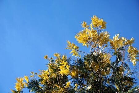 Treetop of decorative tree with branches full of yellow and green feathery leaves in front of light blue color sky background