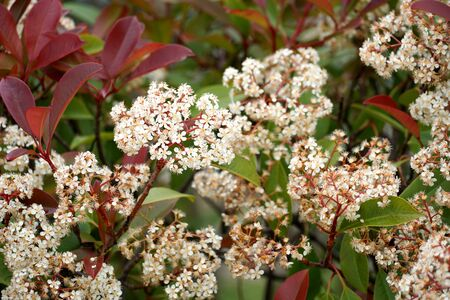 Colorful flowering green hedge with many tiny white flowers and red and green leaves