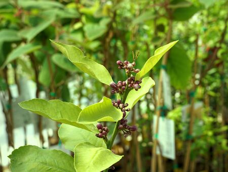 Lemon tree branch with green leaves and many flower buds Standard-Bild