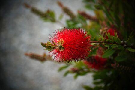 Uncommon red flower of Boottlebrush decorative garden shrub