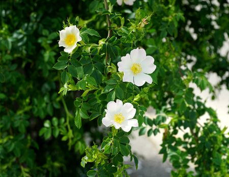 Flowering branch of wild rose Rosa canina with three white flower on it