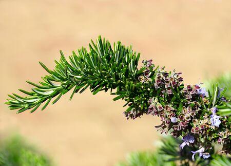 Top of green sprig of blooming evergreen Mediterranean herb rosemary or Salvia Rosmarinus