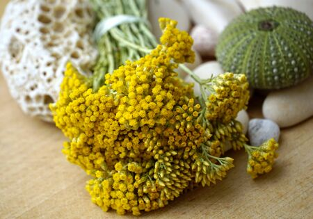 Closeup view of blooming immortelle or everlasting plant from Dalmatia in Croatia