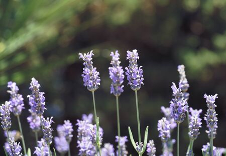 Lavender blooming branches with tiny violet flowers, Lavandula angustifolia, Lavandula officinalis plants on the green background Standard-Bild