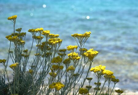 Immortelle blooming plant also known as Everlasting, flowering plant with beautiful yellow papery flowers