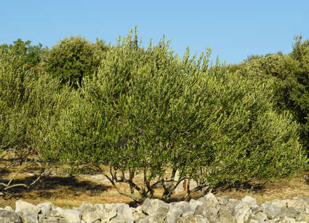 Young organic olive trees and olive grove in Croatian Dalmatia