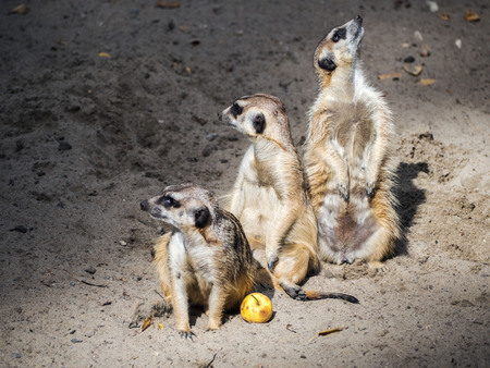 Three suricates watching out. The guardians of different parties.