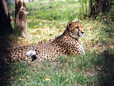 cheetah cub: Cheetah lies and looks. Stock Photo