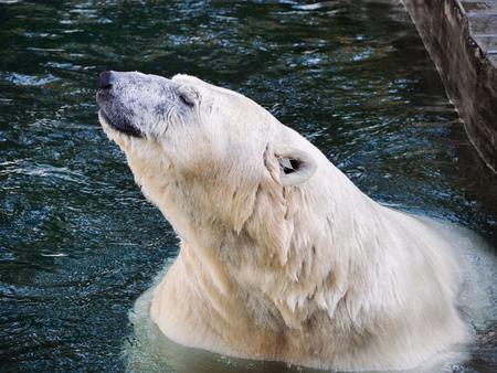 The head of the polar bear, bathing in water.