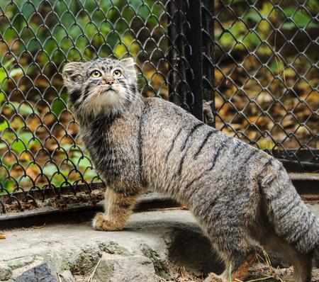 Pallass cat, also known as the manul.