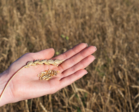 Wheat in the hands of the girl. Wheat spike and peeled. Close-up.
