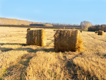 Rural landscape field meadow with hay bales after harvest in sunny evening at sunset or sunrise in late summer. Blue sunny sky. Stock Photo