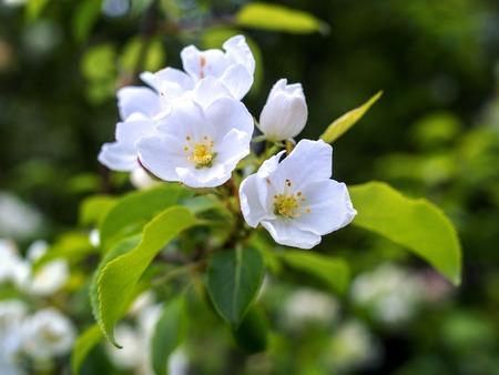 Beautiful spring blooming tree gentle white flowers fresh apple beautiful spring blooming tree gentle white flowers fresh apple tree flowers blossom border on mightylinksfo
