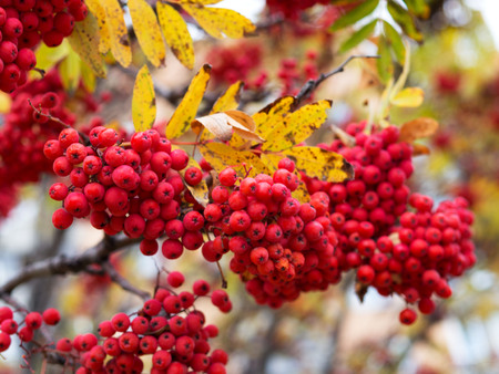 A bunch of ripe rowan berries with raindrops. Bright sunlight after the rain.