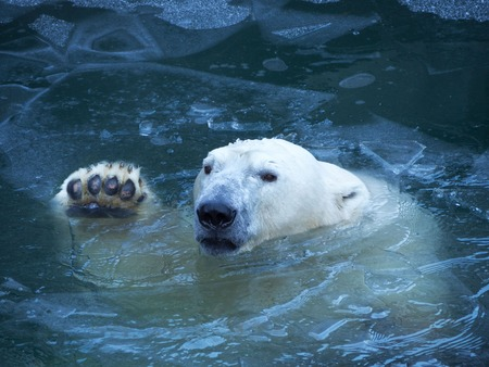 Niedźwiedź polarny macha łapą. Wynurza się z wody łamiąc cienką warstwę lodu. Ochraniacze na łapie.