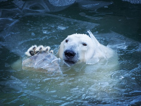 The polar bear waves his paw. Emerges from the water breaking a thin layer of ice. Pads on the paw. 스톡 콘텐츠