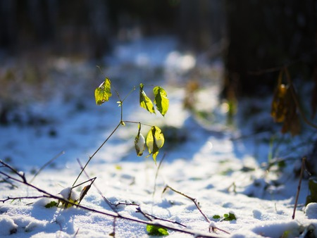 Winter has come and nature has fallen asleep. But in this twig with green leaves there is still life.