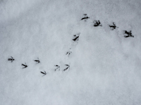 Traces of birds on the snow. On a white background can be seen the shape of the paws of animals.